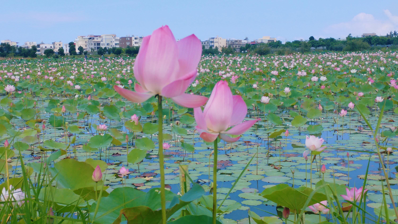高雄岡山秘境景點》典寶溪滯洪池,上千蓮花海盛開超壯觀