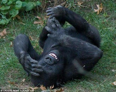 大猩猩捧腹大笑 原地打滾不能自已